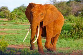 アフリカゾウ.jpg