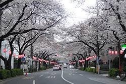 中野通り桜.jpg